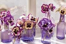 Violet ✾ Pansy