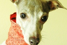 Love Italian Greyhounds  / by 》Tammy D