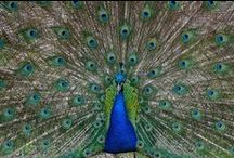 Peacocks / The peacock is a bird which has stirred much lore and myth in almost every society on earth. They are the totem for the Academy of Ancient Reflexology; you can read the story of how that happened here: http://academyofancientreflexology.com/resources/peacocks/peacocks-and-the-academy/