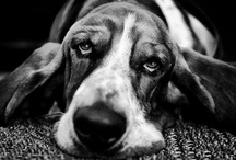 Bassets / THE best breed. I sure miss my big lap dog. One day....one day....That day came last September when Tami brought home Jake! HAPPY HAPPY JOY JOY! / by Bill Dunn