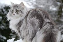 Norwegian Forest Cats / Cats