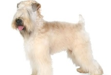 Soft-Coated Wheaten Terriers and friends. / I love my SCWT Cooper!!