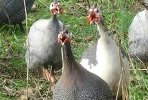 Guinea Fowl ...those crazy, wacky birds.
