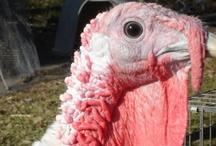 Gobble, Gobble, Gobble it's Turkey Time!