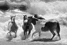 ◊ horses, hevosia ◊