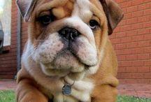 DOGS - Bulldogs