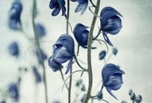 """Wolfsbane / Aconitum is a genus of over 250 species of flowering plants belonging to the family Ranunculaceae.  Most species are extremely poisonous and must be dealt with carefully. The name comes from the Greek ἀκόνιτον, meaning """"without struggle"""". Toxins extracted from the plant were historically used to kill wolves, hence the name wolf's bane. / by xlonewolfx"""