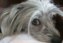 ♥ ♥ Benő  ♥ ♥ (Chinese Crested Dog) / Benő 8 éves kínai kopasz kutya.