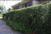 Boca Grove Hedges