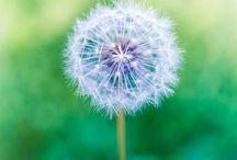 Dandelion Puffs! / by Rozanna Havanna