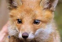 Animales :: Zorros  - Foxes / by D' perros y mascotas