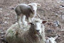 Lamb's / by Tari