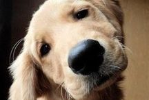 Dogs ~ Golden Retrievers