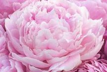 California Grown Peonies from Bodacious Blooms Flower Farm / Gorgeous peonies grown in the Sierra Nevada Foothills near Auburn, California.  Perfect for wedding flowers and everyday bouquets.