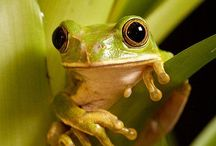 sapos_rospi_frogs