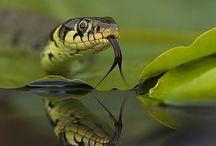 serpientes_serpenti_snakes