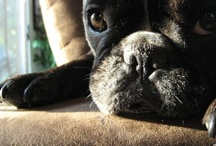 Frenchies and Furries / For the love of French Bulldogs and any critter with a smushy face and a lot of attitude.