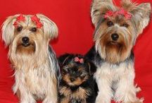 All About Yorkies and Fur friends / by April Hoyt