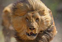 Tierisch: Großkatzen