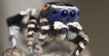 Jumping Spiders / Awesome world of spiders...