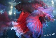 IBC Halfmoon Male Bettas / Show quality halfmoon bettas bred by International Betta   Congress Members / by International Betta Congress