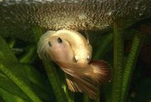 IBC Spawning Photos / Spawning pair photos from our IBC members.  / by International Betta Congress