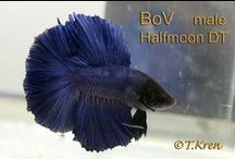 IBC Double Tail Male Bettas / Double Tail Halfmoon Males Bred by IBC members.  / by International Betta Congress