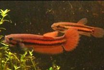 IBC Wild Bettas / by International Betta Congress
