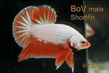 IBC Male Plakats Bettas / Plakat bettas bred by our IBC members / by International Betta Congress