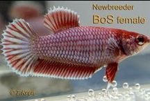IBC Halfmoon Plakat Females / by International Betta Congress