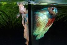 IBC Other Photos / Photos which do not fall into other boards. / by International Betta Congress