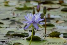 Waterplants - Piante acquatiche / #Nymphaea a #orticolario 2013