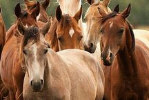 """Horses"" / Beautiful Horses -To join this board please comment ""add me """
