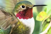 "Humming Birds: / The Beauty Of Humming Birds- to join comment ""add me"""