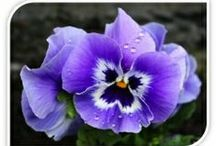 Pansy Flowers art