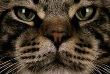 Maine Coon's World / The gentle giants and their amazing adventures with us...
