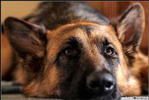 German Shepherd / A fine selection of German Shepherd photos.