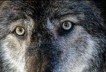 Wolves / by Rebecca Renaghan