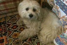 Maltese / My favorite dog's breed.pure love.I have one,my baby Oscar!!Love of my life