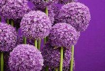 nuances de violet / Parme, lila, purple, lavande, violet, aubergine....