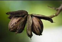 PECANS  ~  Trees & Nuts / by Ms1daful    ✿ڿڰۣ Wanda Obomese