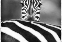 """zebra / zebra""""s"""