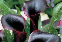 Black flowers / Love black flowers, red, purple  / by Belinda C