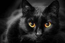 čierne mačky