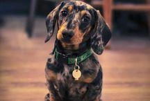 Dachshunds the Weenier dog / Dachshunds the Weenier dog  / by Basics & Beyond Grooming School
