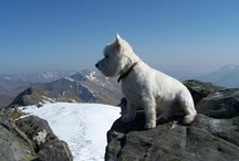 Hamish's Munro Bagging / Hamish, the walking westie, on top of Munros (Scottish mountains over 3000')
