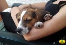 I beagles di Green Hill