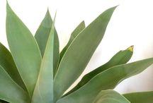 plantormestkaktusar