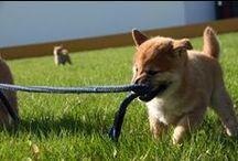 Shibas / My Shibas and more doggy stuff