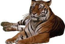 Mesevilág: Vadmacskák (Dreamland: Wild cat) / clip-art